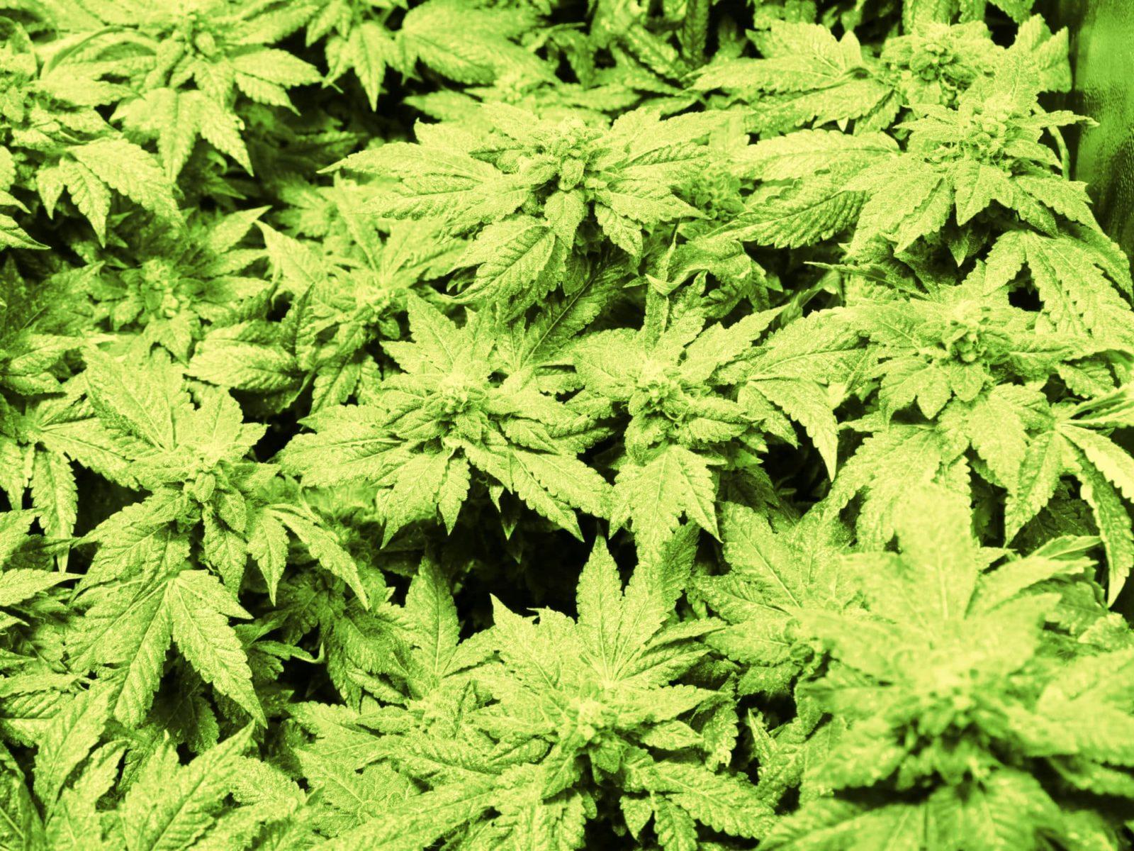 Kannabis Vaikutus