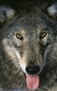 Suomessa susi rauhoitettiin 1973. Laji on luokiteltu erittäin uhanalaiseksi. Kuva: Ilpo Kojola